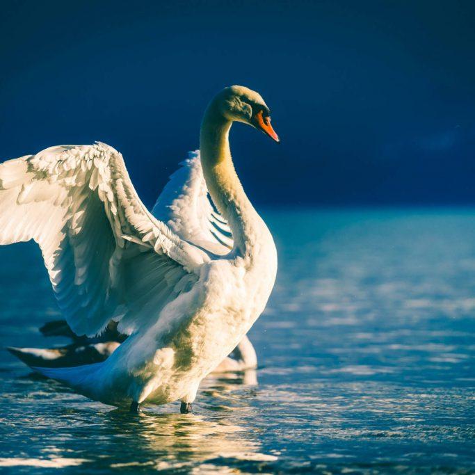 schoonheid-zwaan